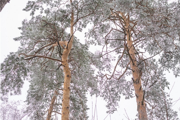 Besneeuwde bos, besneeuwde dennenboom