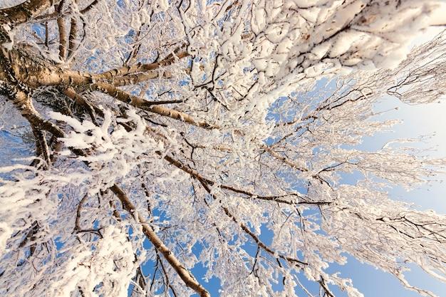 Besneeuwde dunne berkentakken na een wintersneeuwval, helder zonnig weer