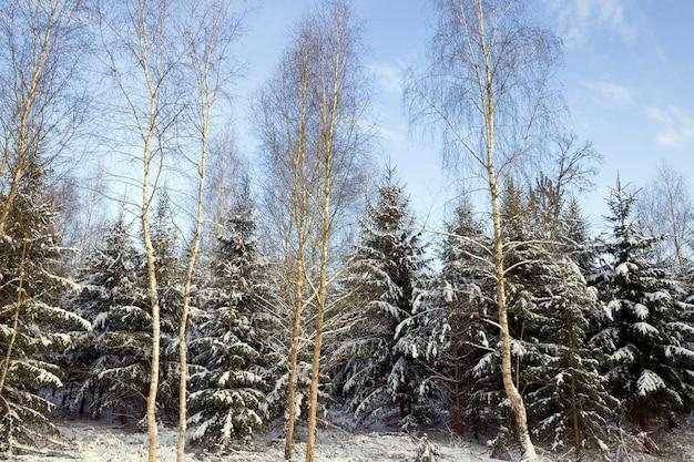 Besneeuwde gemengde naald- en loofbomen in de winter, witte sneeuw ligt overal op boomtakken en op de grond