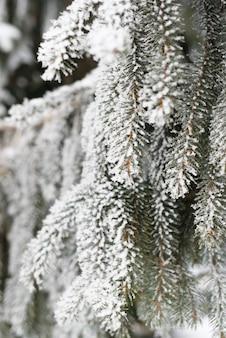 Besneeuwde pijnboomtak, close-up. verticaal perspectief. winter achtergrond