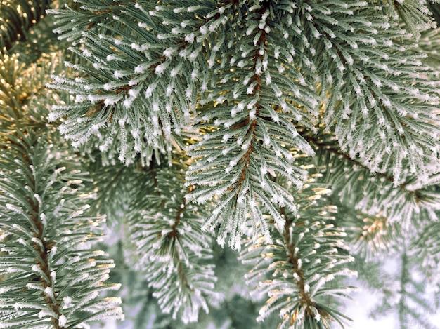Besneeuwde takken van een kerstboom close-up met selectieve aandacht. winter achtergrond van fir takken met rijm.