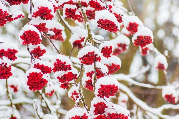 Besneeuwde takken van lijsterbes met rode bessen in de winter