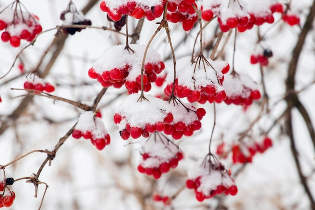 Besneeuwde takken van viburnum met rode bessen