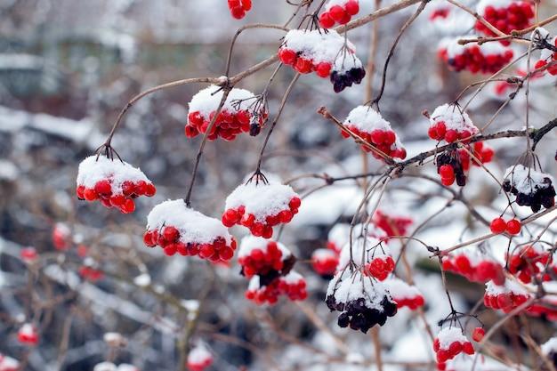 Besneeuwde trossen viburnum met rode bessen. rode bessen van viburnum in de winter