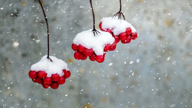 Besneeuwde trossen viburnum tijdens een sneeuwval