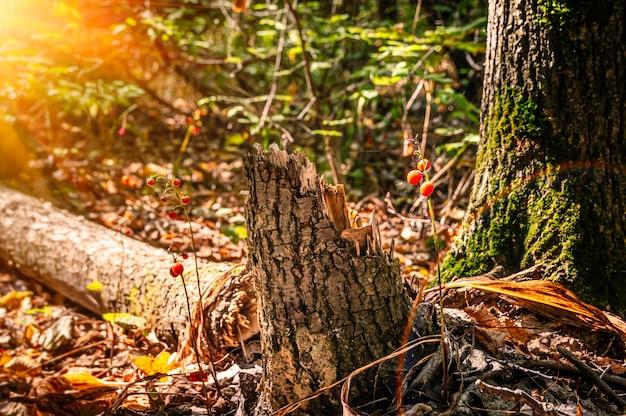 Bessen en een gebroken boomstam in het herfstbos