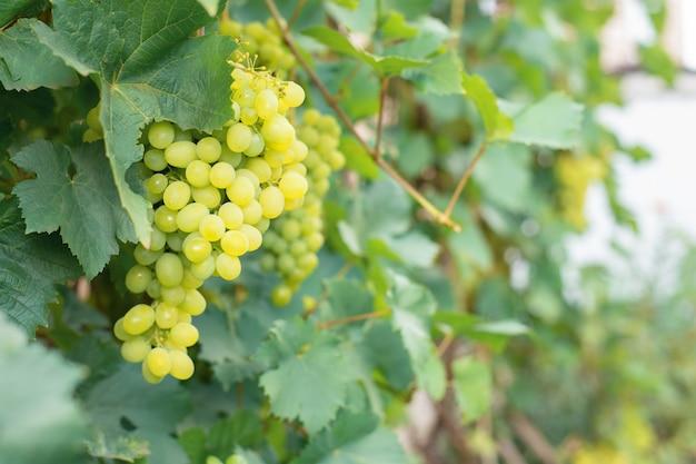 Bessen van groene druiven met grote bladeren hangen aan staaftakken in een tuin