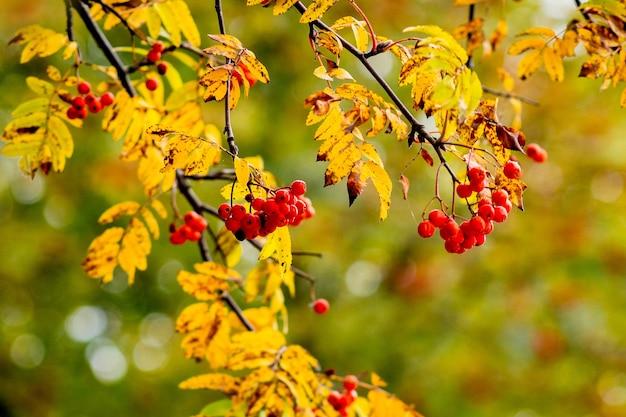 Bessen van lijsterbes onder oranje bladeren aan een boom bij zonnig weer