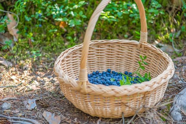 Bessenseizoen rijpe bosbessen in een mand het proces van het vinden en verzamelen van bosbessen