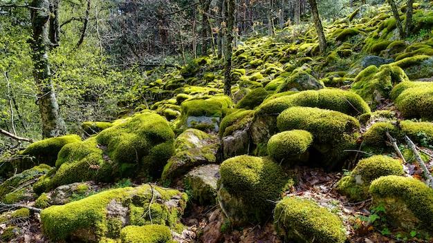 Betoverd bos van grote stenen bedekt met mos en zonnestralen die tussen de bomen binnenkomen