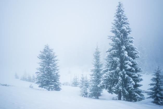 Betoverend achtersteven panorama van hoge sparren bedekt met sneeuw groeien in het bos in ijzige winterdag. het concept van harde noordelijke natuur en recreatie op het platteland in de winter