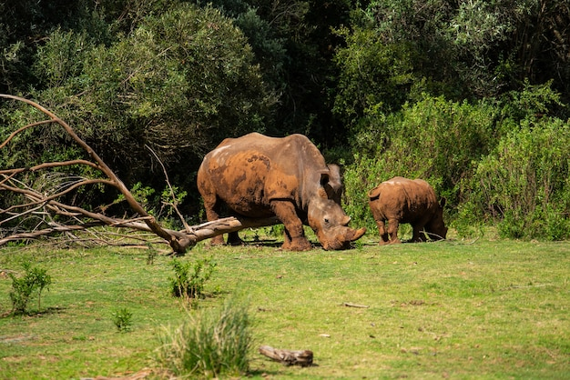 Betoverende opname van neushoorns op het groene gras overdag