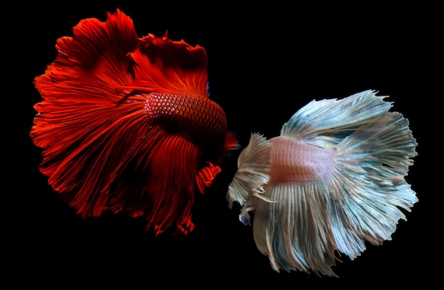 Betta of saimese kempvissen.
