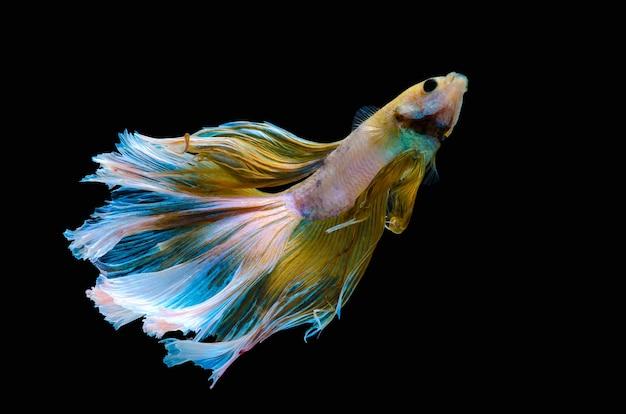 Betta siamese aquarium vechten vis