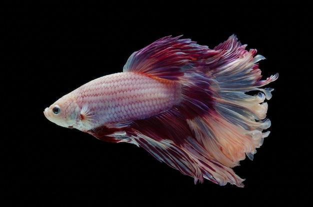 Betta siamese vechten vis