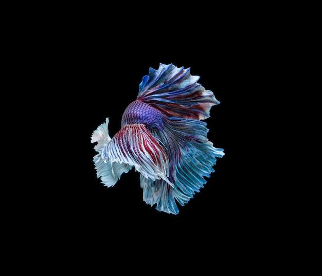 Betta vis in het donker