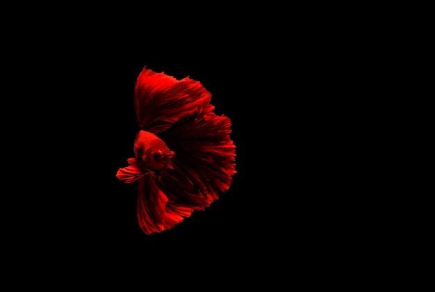 Betta vis, kempvissen, betta splendens geïsoleerd op zwart
