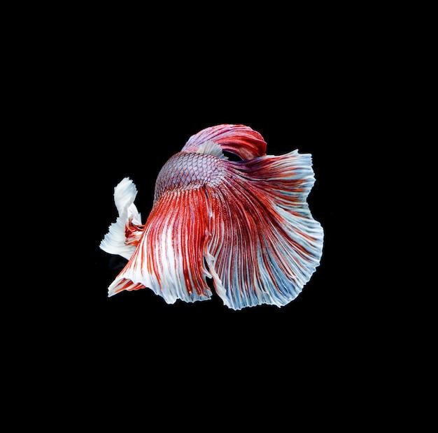 Betta vis, kempvissen, betta splendens geïsoleerd op zwarte achtergrond
