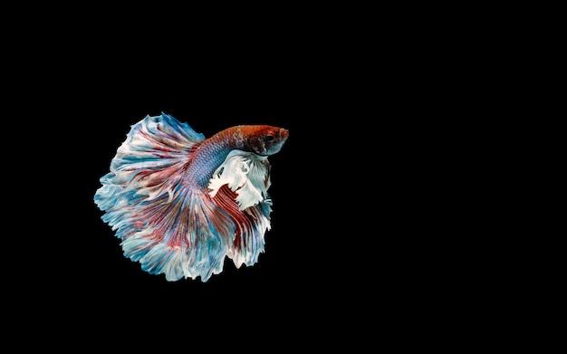 Betta vis, kempvissen, betta splendens geïsoleerd