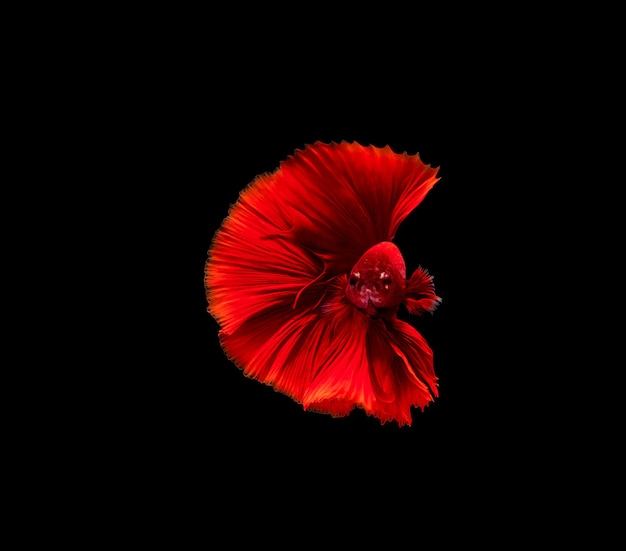 Betta-vis, kempvissen, betta splendens geïsoleerd