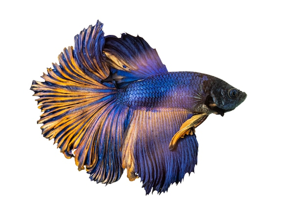 Betta vis, kempvissen, betta splendens (halfmoon betta) geïsoleerd