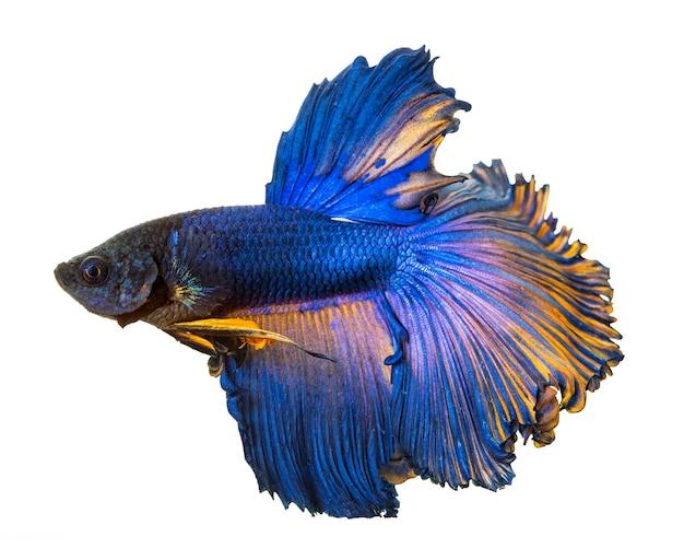 Betta vis, kempvissen, betta splendens (halfmoon betta) geïsoleerd