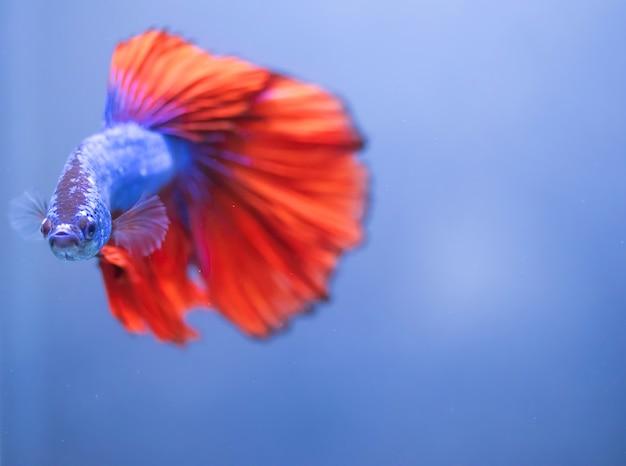 Betta vis, kempvissen geïsoleerd op blauw