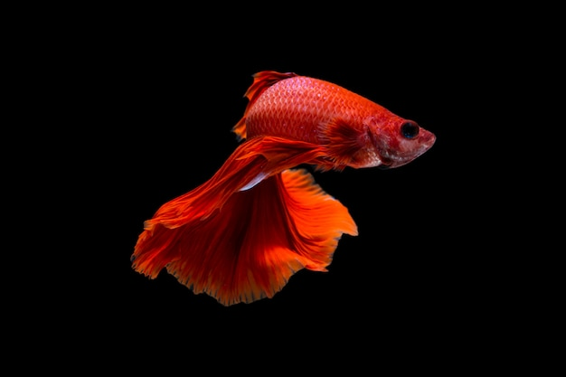 Betta vis op zwart