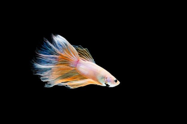 Betta-vis, siamese gevechten, betta splendens geïsoleerd