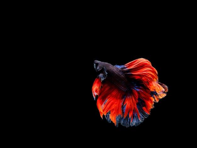 Betta vis, siamese kempvissen, betta splendens geïsoleerd op zwarte achtergrond
