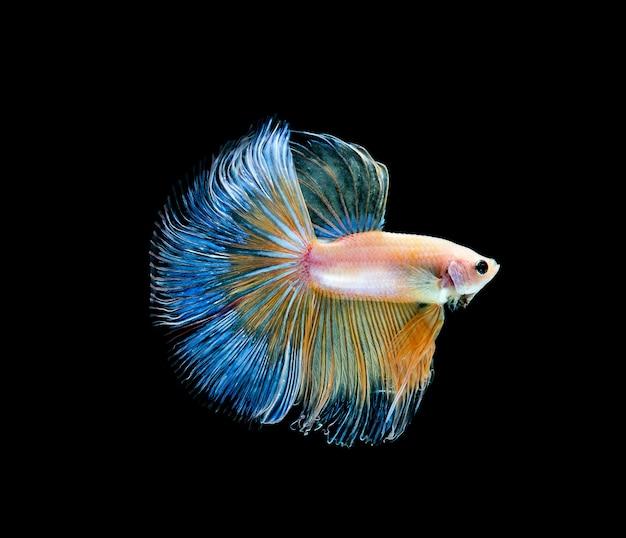 Betta vis, siamese vechten, betta splendens geïsoleerd op zwarte achtergrond