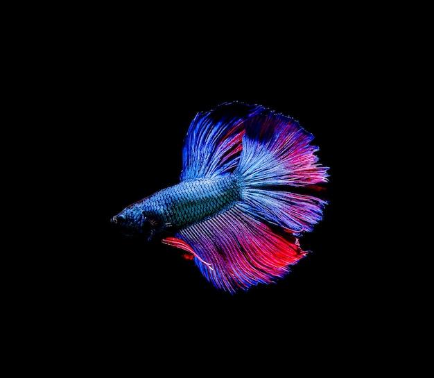 Betta-vis, siamese vechten, betta splendens geïsoleerd