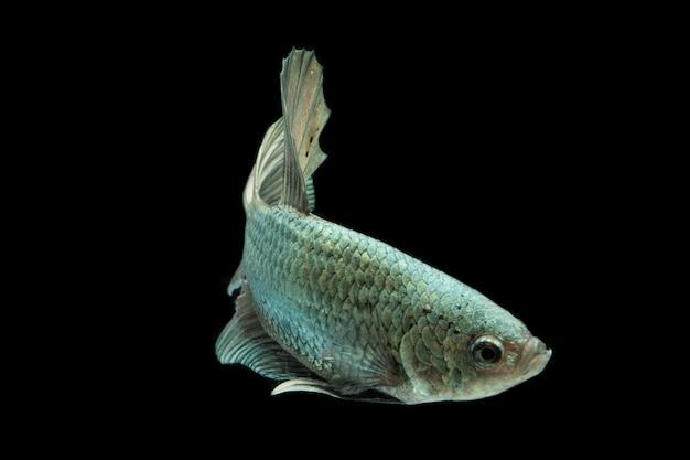 Betta vis solide cooper halfmoon siamnese fighting fish geïsoleerd op zwart