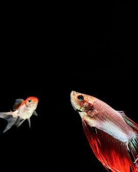 Betta-vissen die omhoog met exemplaarruimte kijken