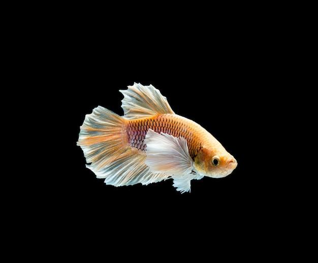 Betta-vissen, het siamese vechten, betta splendens geïsoleerd op zwarte achtergrond