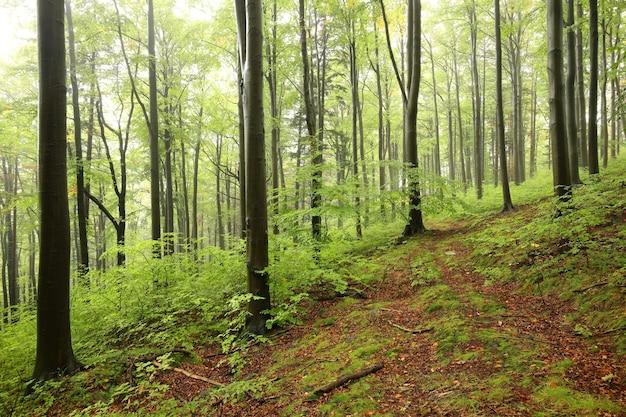 Beukenbos bij mistig weer aan het begin van de herfst