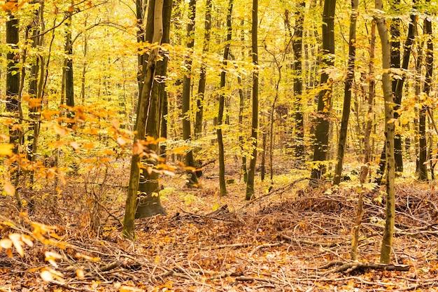 Beukenbos in de herfst met zijn mooie gouden kleuren