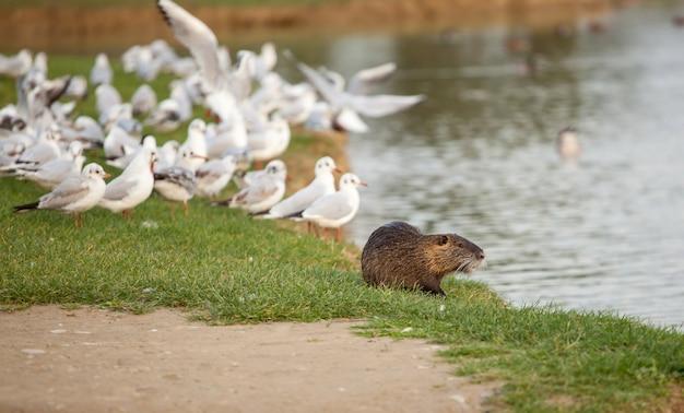 Beverrat met zeemeeuwen in serravalle-park in empoli