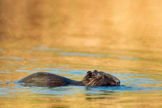 Beverrat (myocastor beverrat) drijvend in het water.