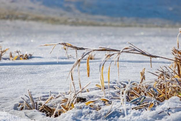 Bevroren droge planten op de oever van de rivier tegen sprankelende sneeuw in zonnige winterdag. natuurlandschap in de winter