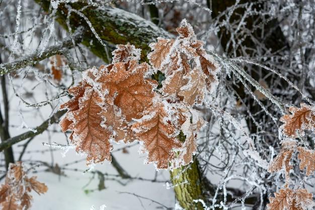 Bevroren eikenbladeren bedekt met rijp op de boom