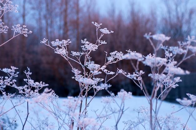 Bevroren engelwortel in de koude winter