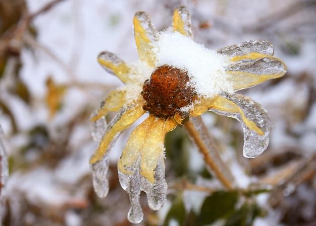 Bevroren gele bloem met sneeuwvlokken en ijs
