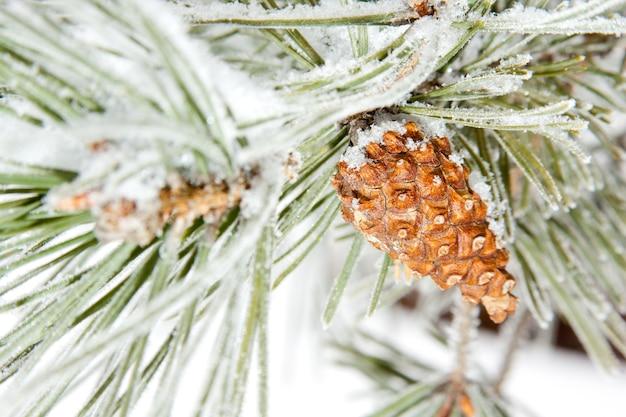 Bevroren naaldpijnboomtak met kegel