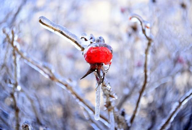 Bevroren rozenbottelbes groeit op een tak bedekt met ijs en ijspegel