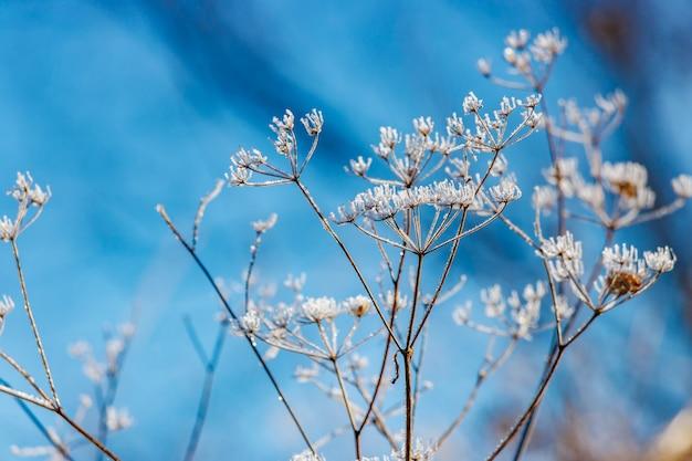 Bevroren stengels van droge planten met ijskristallen op het oppervlak tegen blauwe hemel in zonnige winterdag