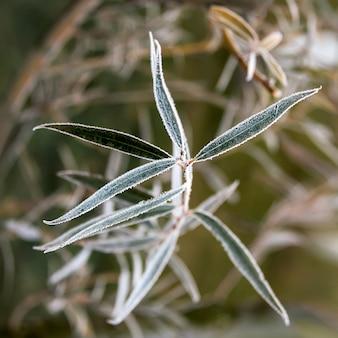 Bevroren wilgenbladeren. natuurlijke herfst of winter achtergrond.