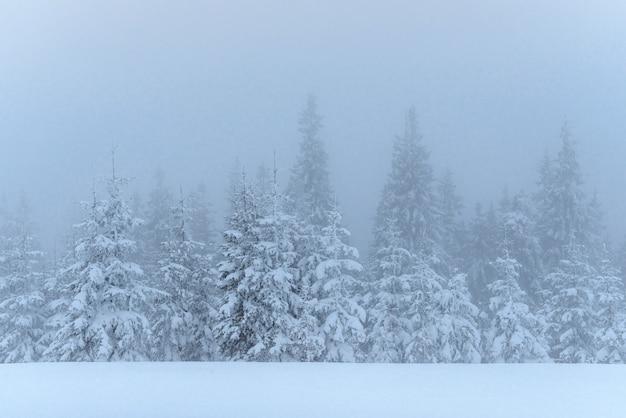 Bevroren winter bos in de mist. pijnboomboom in aard die met verse karpatische sneeuw wordt behandeld, de oekraïne