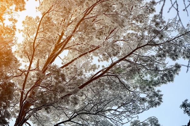 Bevroren winterbos in de mist. close-up van een met sneeuw bedekte den op een achtergrond van een witte winterhemel