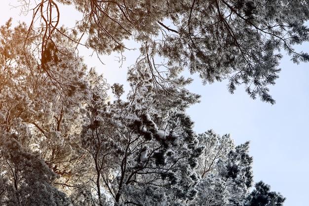 Bevroren winterbos in de mist. close-up van een met sneeuw bedekte den op een achtergrond